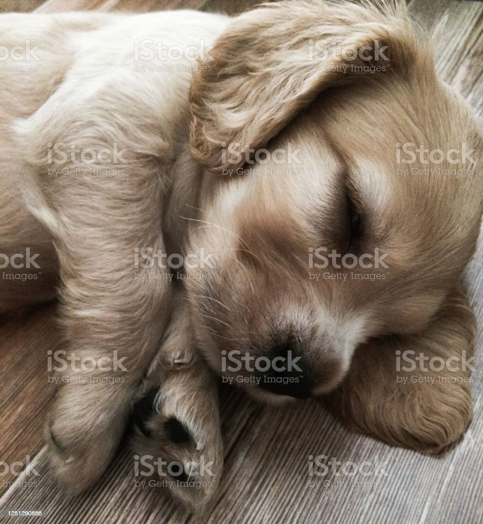 Little Cute Puppy Is Sleeping Sweetly At Home English Cocker Spaniel Puppy Stock Photo Download Image Now Istock