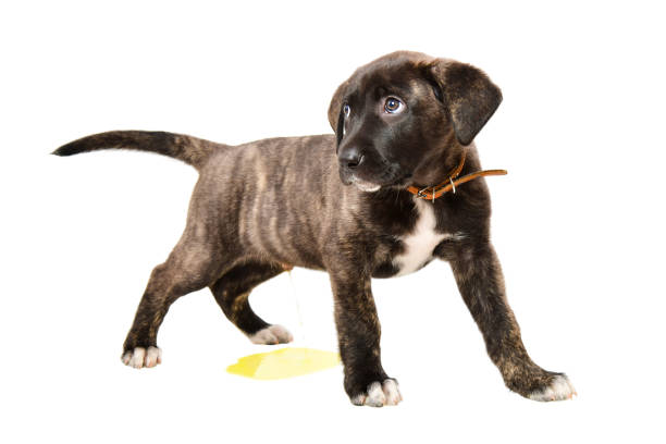 Little cute puppy pissing on the floor isolated on white background Little cute puppy pissing on the floor isolated on white background cane corso stock pictures, royalty-free photos & images