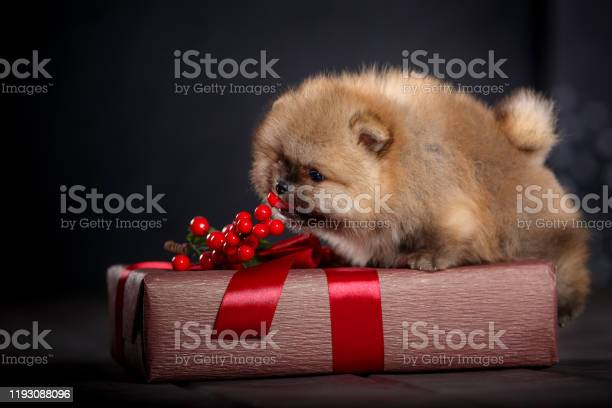 Little cute puppy plays with gifts in boxes under the christmas tree picture id1193088096?b=1&k=6&m=1193088096&s=612x612&h=bpbhvlayrjrjnxlbwhvmafsa i  xqueozkwzozzo54=