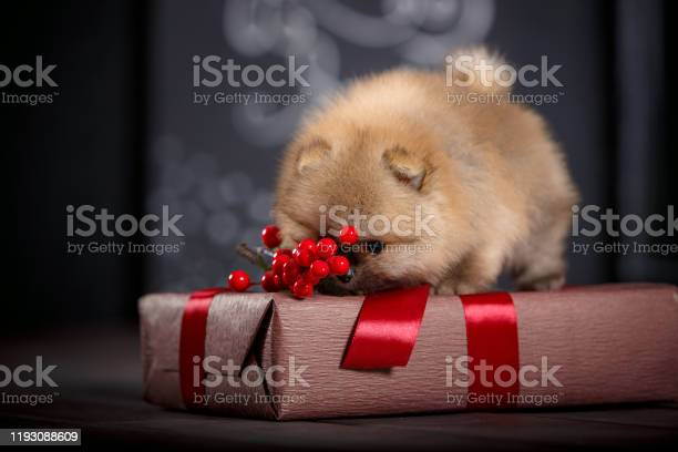 Little cute puppy plays with gifts in boxes under the christmas tree picture id1193088609?b=1&k=6&m=1193088609&s=612x612&h=z 7u3gc4qfz8bmgstgre1czyhpefvc9rztcehktn3m0=