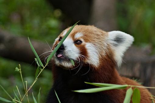 Little cute red panda eating