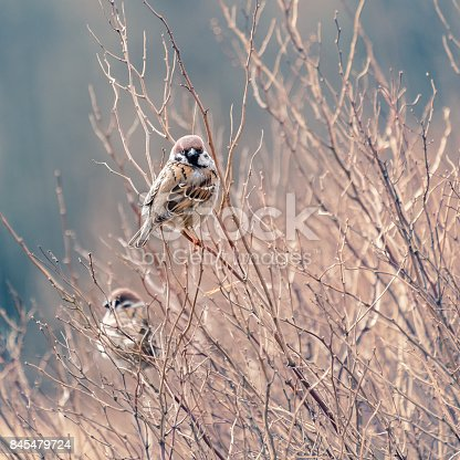 521620252istockphoto Little cute sparrow sitting on the branch 845479724