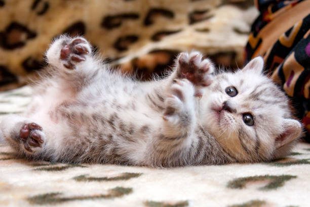 Little cute spotted British kitten gray white color lies upside down stock photo