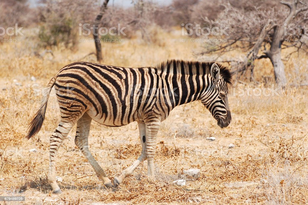 Little cute Zebra in the Etosha National Park in Namibia royalty-free stock photo