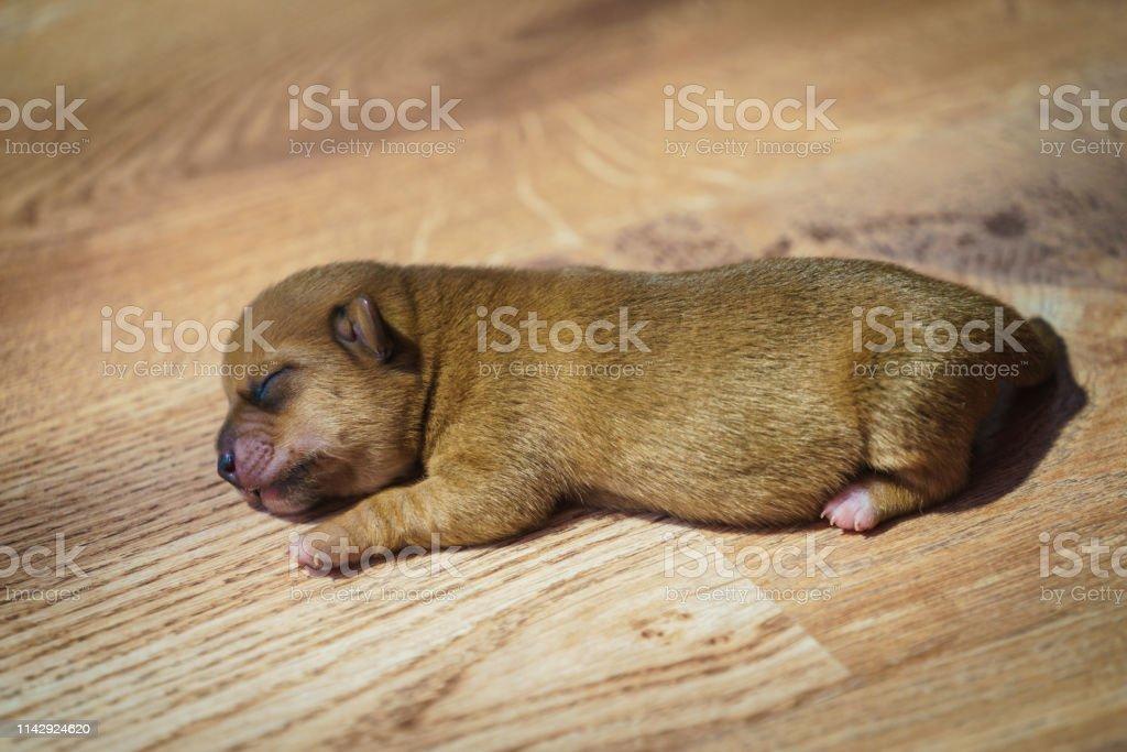 Little Dachshund Dog Puppy Newborn Stock Photo Download Image Now Istock