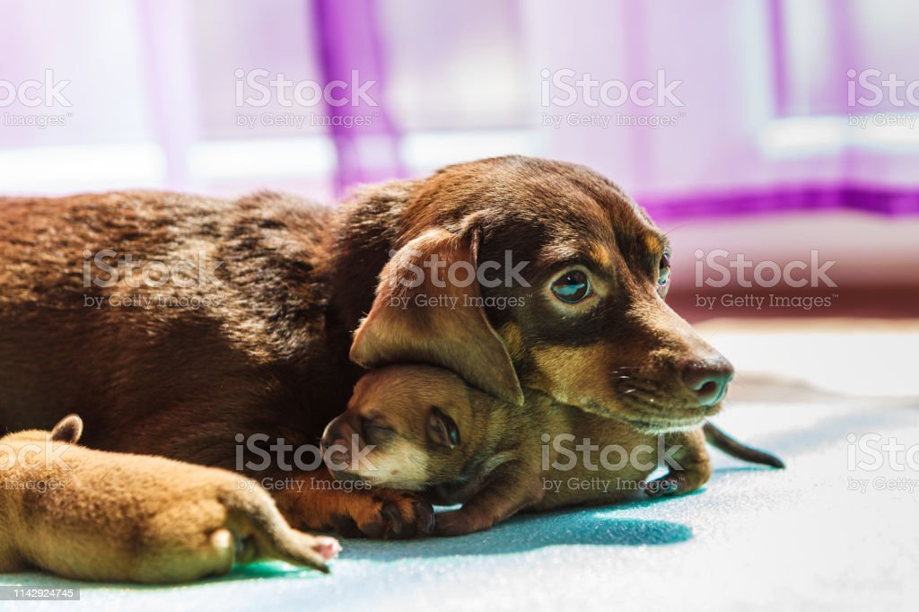 Little Dachshund Dogs Puppies Newborns Stock Photo Download Image Now Istock