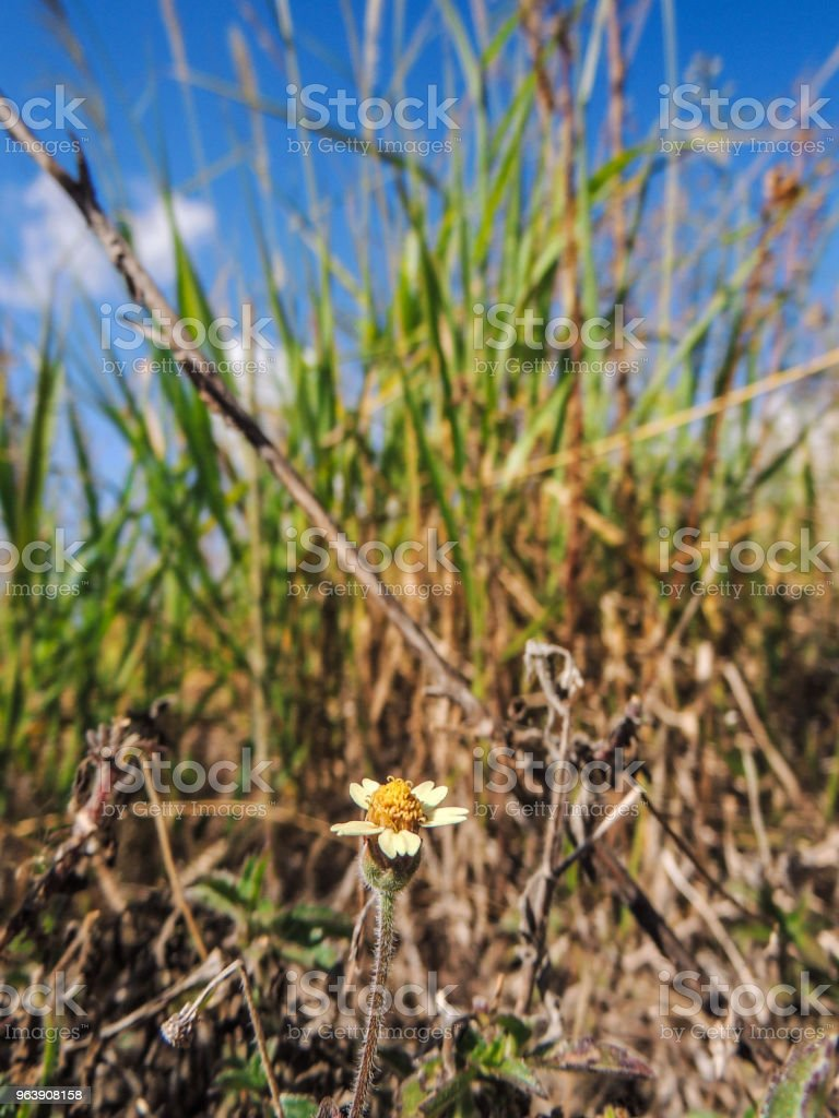 Little Daisies among the Grass - Royalty-free Brazil Stock Photo