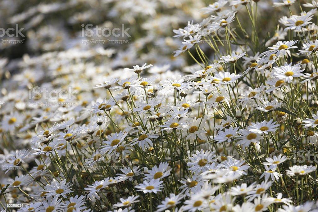 Little daisies flower in garden. stock photo