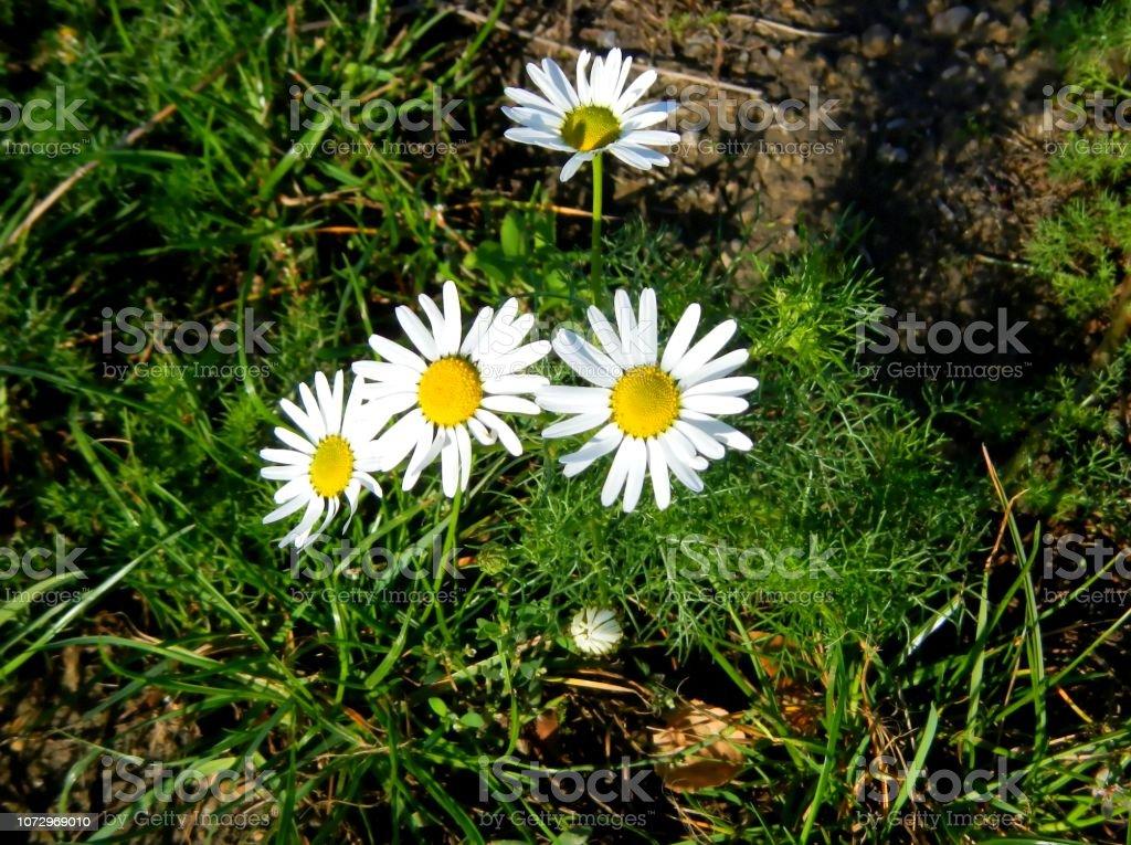 Gänseblümchen im Sommer – Foto