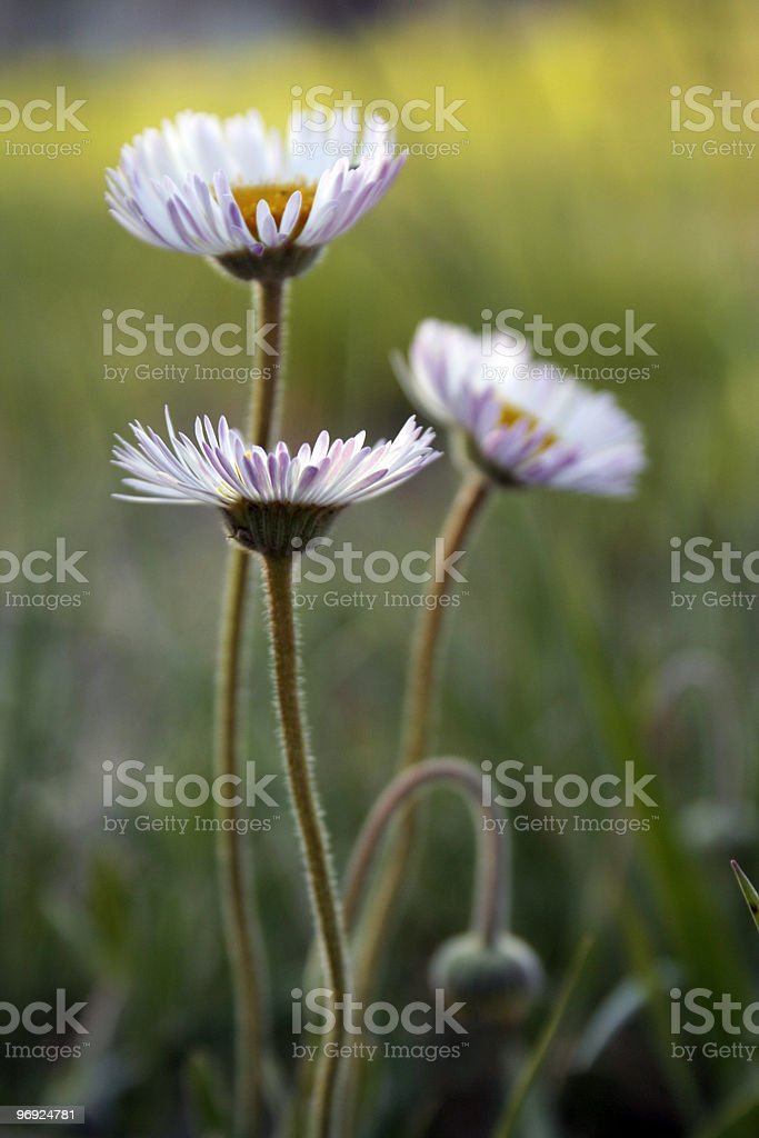 Little daisies royalty-free stock photo