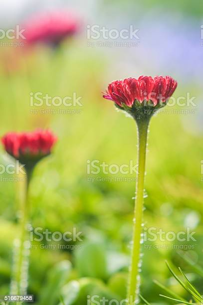 Photo of little daisies with deep red petals