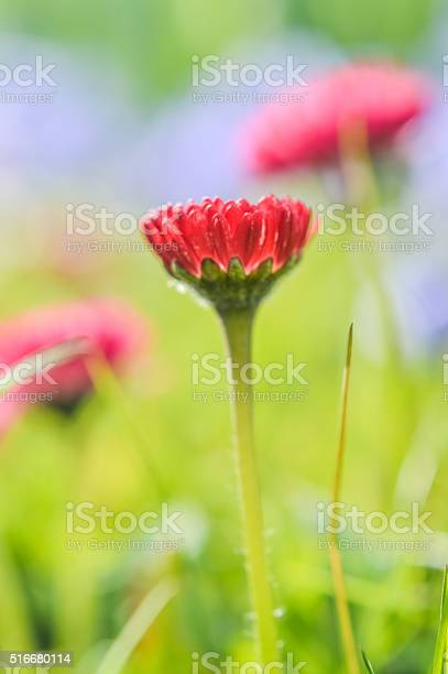 Photo of little daisy with deep red petals