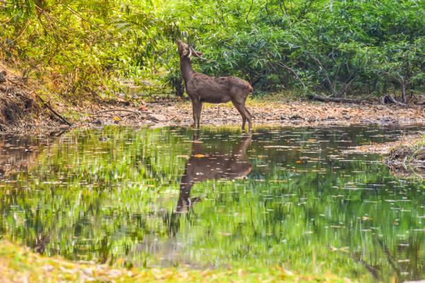 little dear standing beside of pond stock photo