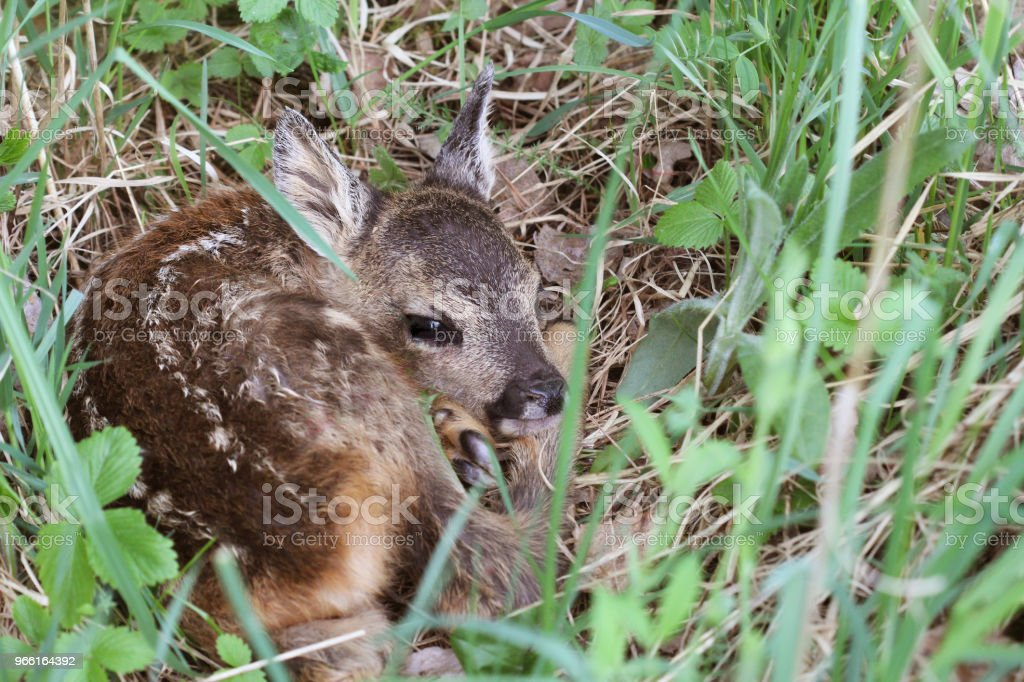 Little deer in the grass. Capreolus capreolus. .Wildlife scene from nature - Royalty-free Animal Stock Photo