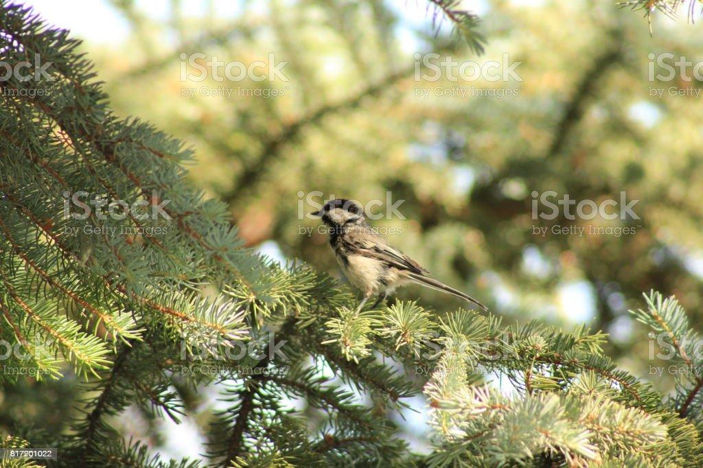 Little dicky bird stock photo