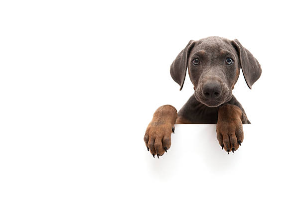 petit doberman - Photo