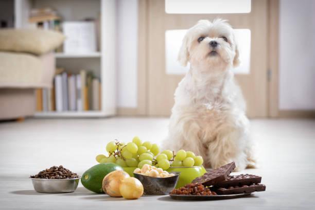 little dog and food toxic to him - sugar cane foto e immagini stock