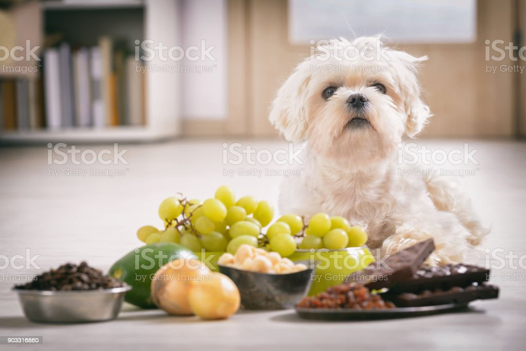 Little dog and food toxic to him stock photo