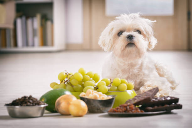 little dog and food toxic to him - poisonous stock pictures, royalty-free photos & images