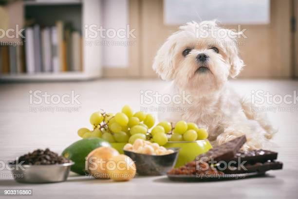 Kleine Hond En Voedsel Giftig Voor Hem Stockfoto en meer beelden van Avocado