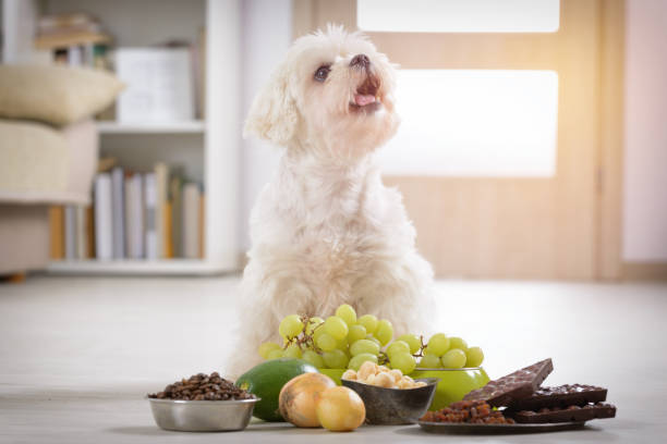 liten hund och mat giftigt för honom - coffe with death bildbanksfoton och bilder