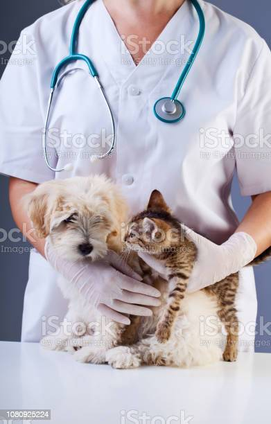 Little dog and kitten meeting at the veterinary doctor picture id1080925224?b=1&k=6&m=1080925224&s=612x612&h=fphipc v81xdwgnb aqtpx3fn8gpt3fcgn1y886hls4=