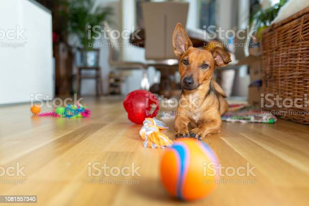 Little dog at home in the living room playing with his toys picture id1081557340?b=1&k=6&m=1081557340&s=612x612&h=5vjmwgvxomu9homl4zpwu86nqj9njgd92 598j5tjza=
