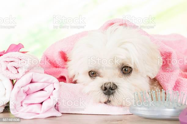 Little dog at spa picture id537461536?b=1&k=6&m=537461536&s=612x612&h=mvd um87x85zie1jecq basbxfwxxsj75abp hpvcim=