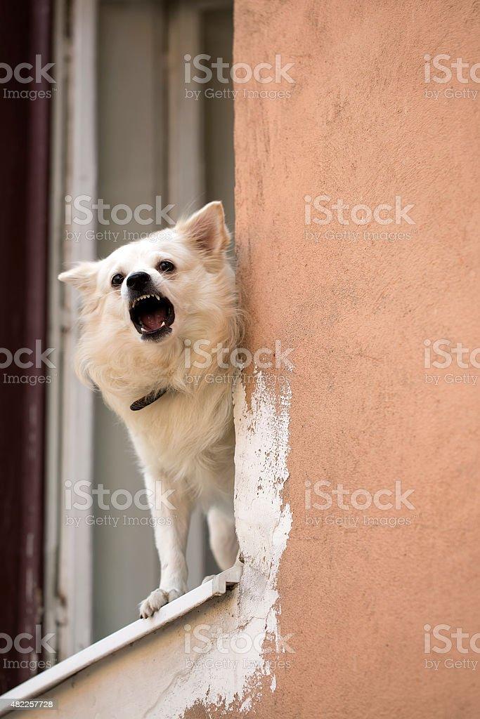 Little dog baying in window stock photo