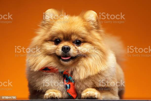 Little dog breed pomeranian spitz on orange background closeup studio picture id979944790?b=1&k=6&m=979944790&s=612x612&h=upjbcizwcptu9ps0fgmhshkqc05xxquoinxve3isul0=