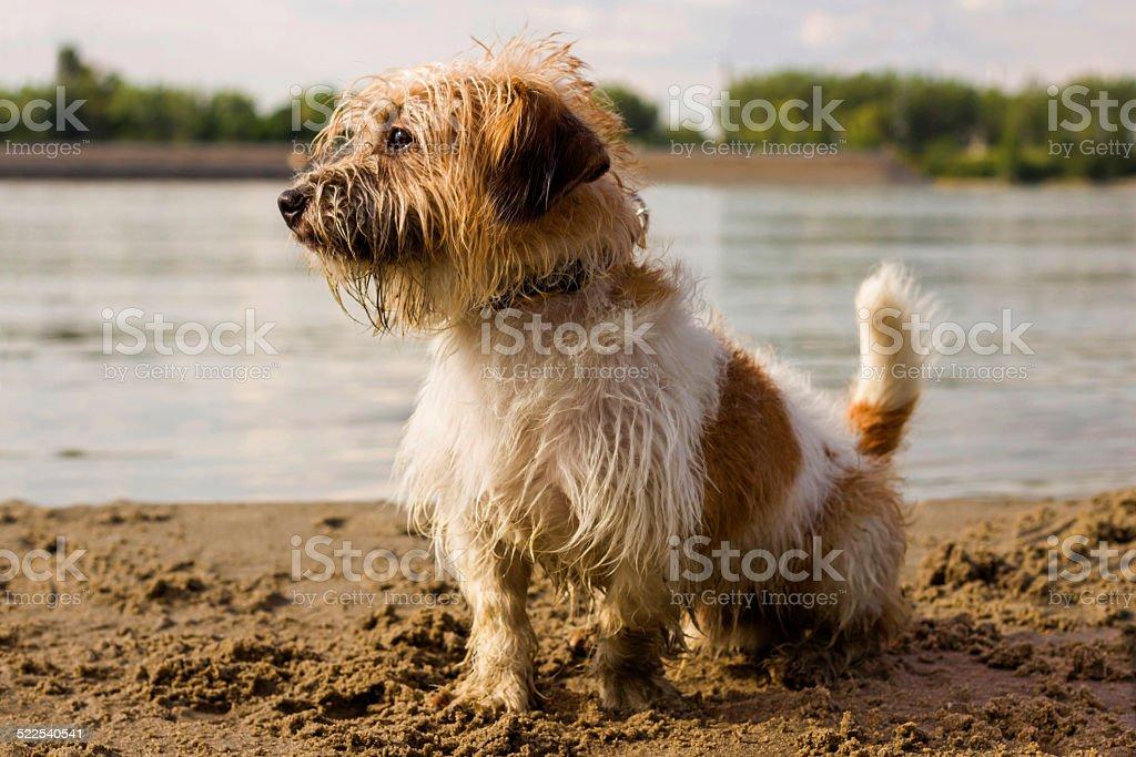 Petit chien sur la plage - Photo