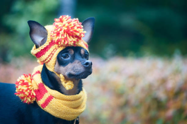 Little dog in an autumn hat and scarf funny funny puppy theme of picture id864324974?b=1&k=6&m=864324974&s=612x612&w=0&h=rgbmgzbdlbwta9fbabyqzqt1wxu8gbh54axgc aj9gy=