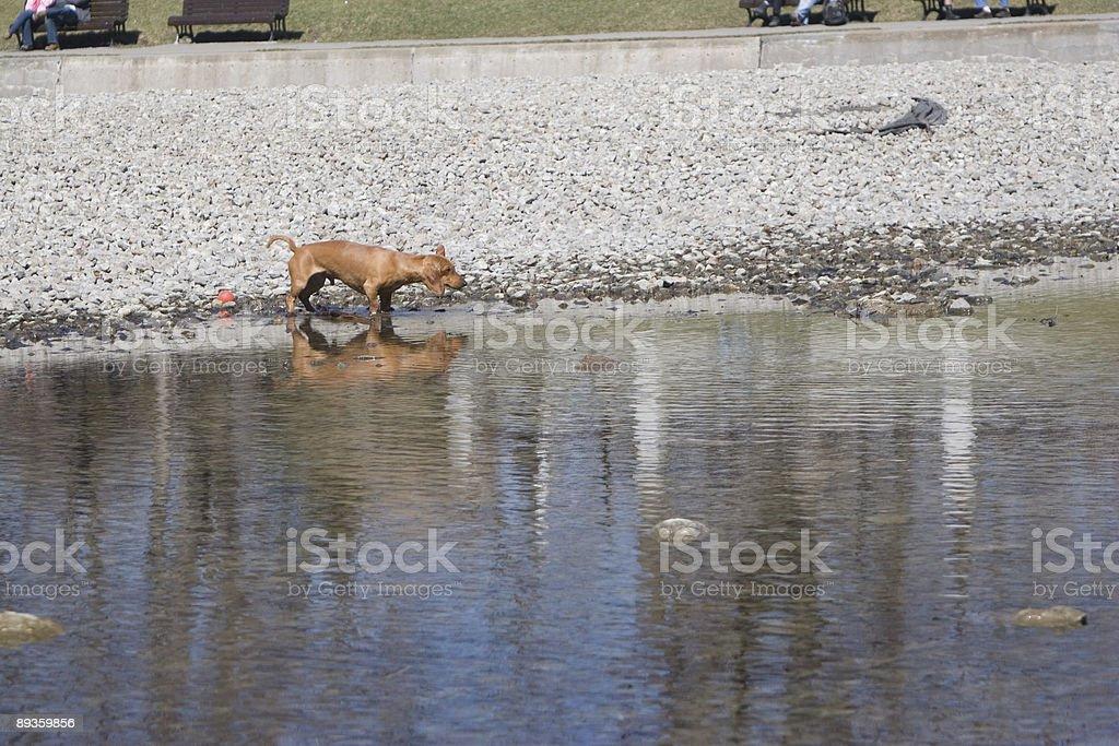 Mały Pies w Staw zbiór zdjęć royalty-free