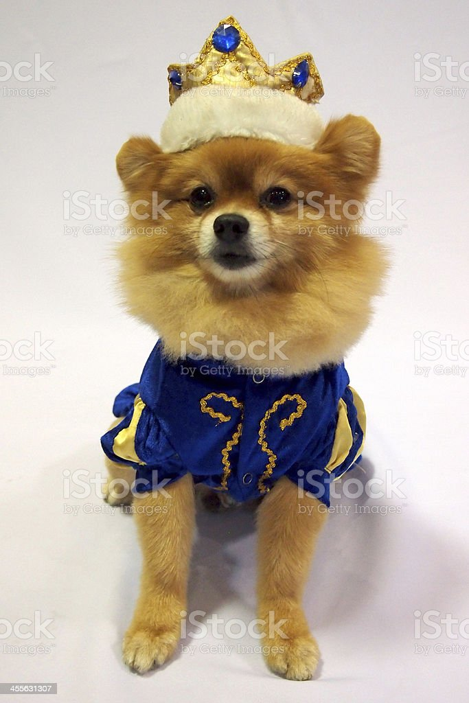Little dog in prince costume stock photo