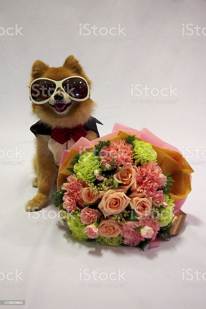 Little Dog In Tux And Flower Bouquet stock photo 470920863 | iStock