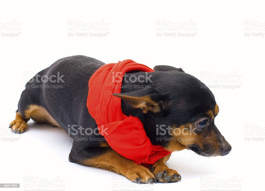 little dog. isolated royalty-free stock photo