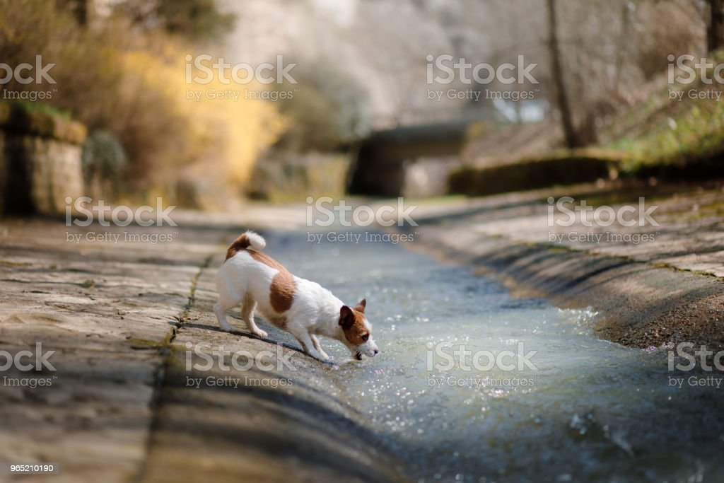 Little dog Jack Russell Terrier playing with water royalty-free stock photo
