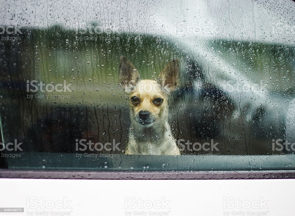 little dog looking through car window on a rainy day stock photo