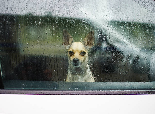 little dog looking through car window on a rainy day sad dog chihuahua waiting in a locked car their owners short haired chihuahua stock pictures, royalty-free photos & images