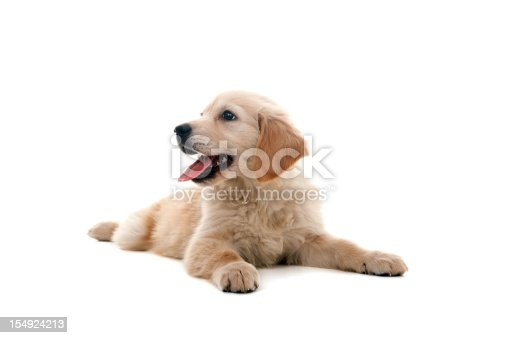 little golden retriever on white