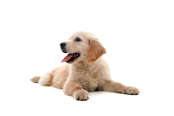 little dog little golden retriever on white retriever stock pictures, royalty-free photos & images