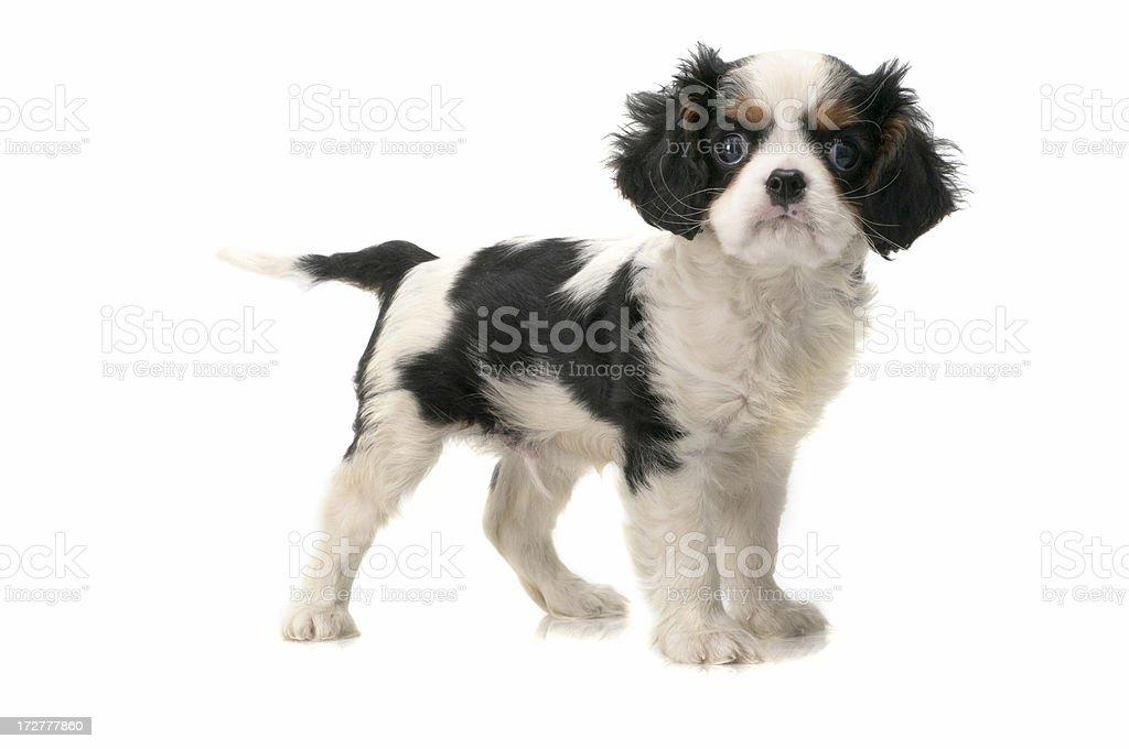 little dog stock photo