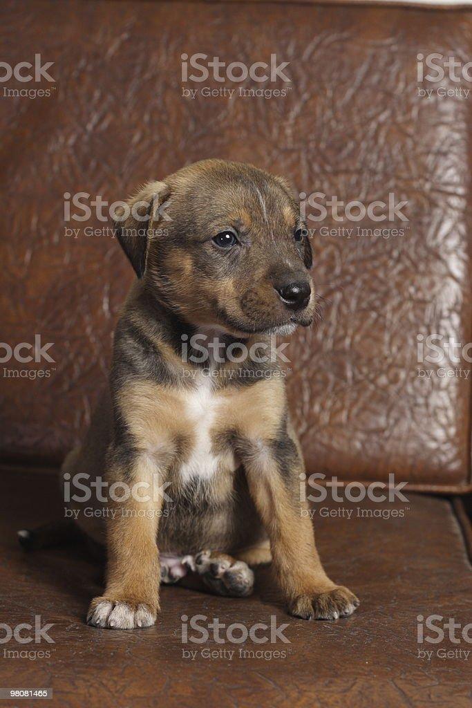 Little Dog royalty-free stock photo