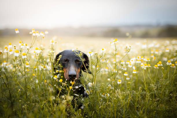 little dog running among flowers - pyłek zdjęcia i obrazy z banku zdjęć
