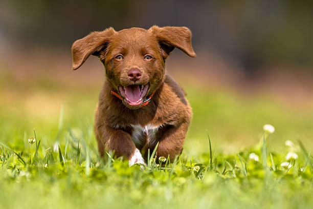 Little dog running with flapping ears picture id498397536?b=1&k=6&m=498397536&s=612x612&w=0&h=ojfbzwjuku4saf4drgupvhwuuljn3kas6eneemvbtva=