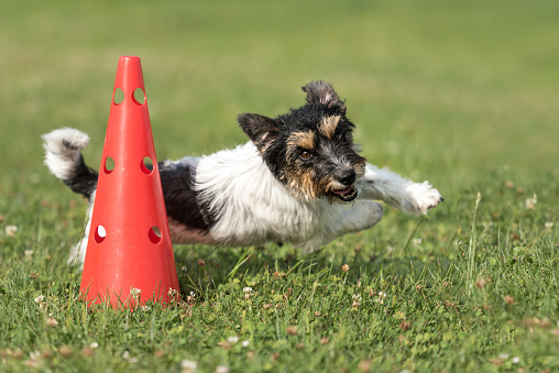 little dog runs fast around a cone - Jack Russell Terrier 2,5 years old