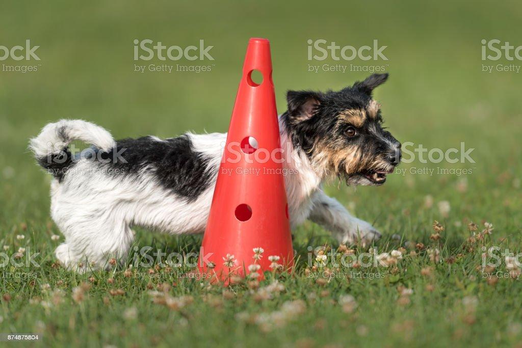 kleiner Hund läuft schnell um einen Kegel - Jack Russell Terrier 2,5 Jahre alt – Foto