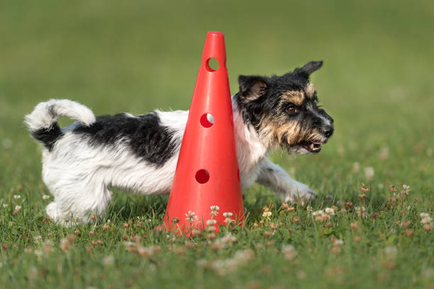 little dog runs fast around a cone - Jack Russell Terrier 2.5 years old stock photo