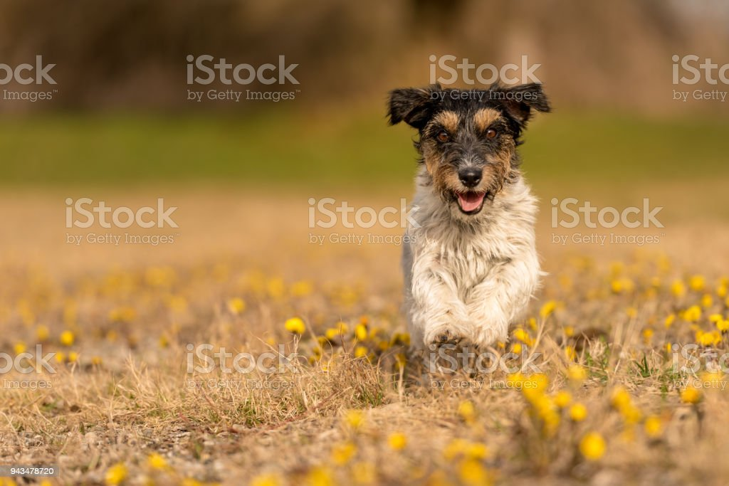 little dog runs over a blooming meadow in spring - cute Jack Russell Terrier Hound, 3 years old, hair style rough