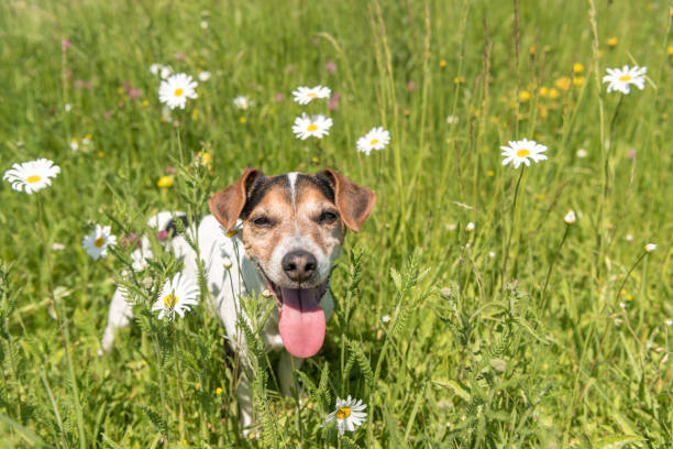 little dog sits in a blooming meadow in spring. jack russell terrier  dog11 years old - campo margaridas amarelas correr imagens e fotografias de stock